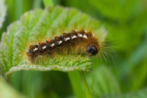 The Brown-tail moth caterpillars become active in the Spring